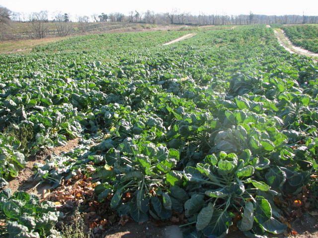 brüksel lahananın faydaları