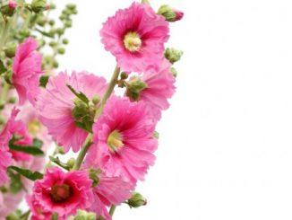 hatmi çiçeğinin faydaları