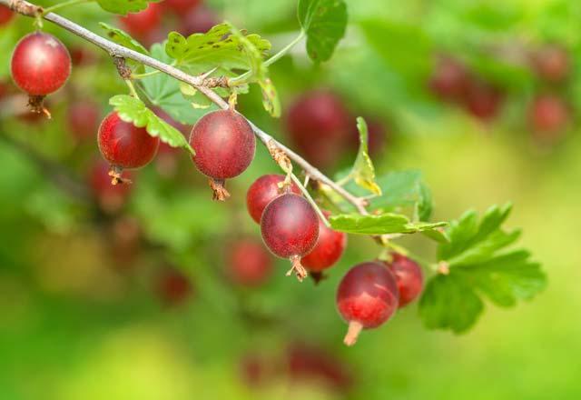 bektaşi üzümünün faydaları